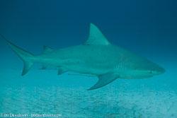 BD-101205-Playa-del-Carmen-2603-Carcharhinus-leucas-(Müller---Henle.-1839)-[Bull-shark.-Tjurhaj].jpg